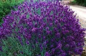 Hidcote Lavender, an English lavender that is small, compact, and great to create a border or hedge for a cottage garden feel.