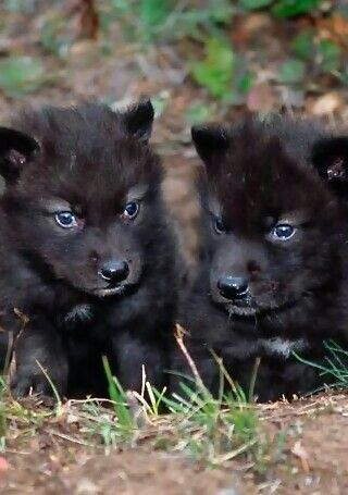 Blue-eyed black wolf pups....These are endangered animals n it's really ashame, isn't it?