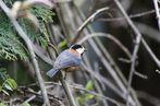 「日本の鳥百科」ヤマガラの紹介です(鳴き声あり)。背・翼の上面は灰色、腹は褐色。頭は黒色と白っぽい淡い褐色の模様です。体の大きさに比較し頭でっかちで、尾は短め。