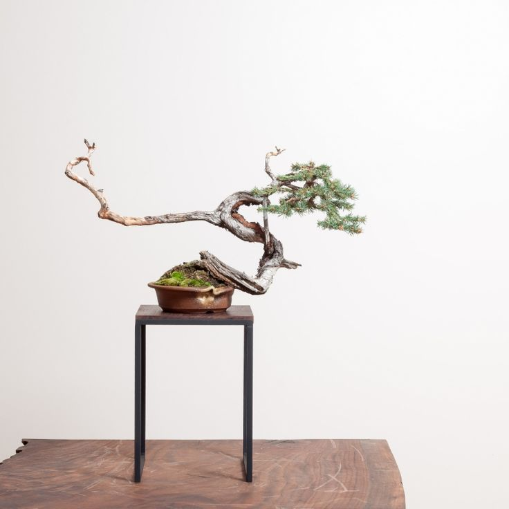 japanese maple indoor house plant html with Bonsai And Pots on Coral Bark Japanese Maple additionally Japanese Indoor Plants together with Tiny Hobbit Home Carved In Bonsai Trees likewise Cool Cutting Board likewise Indoor Planting.