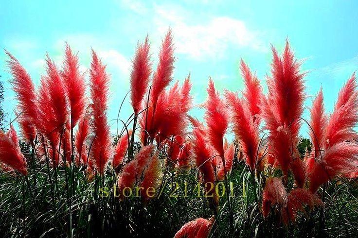 400pcs/bag Pampas Grass Seed Red Plant Ornamental Flowers Cortaderia Selloana #MyLuckyHouse