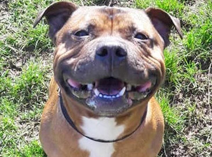 Truffle Find A Pet Rspca Org Uk Staffordshire Bull Terrier Bull Terrier Family Dogs