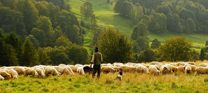 Every year sheep produce a new fleece, making wool a completely renewable fibre source. Wool is a hygroscopic fibre.