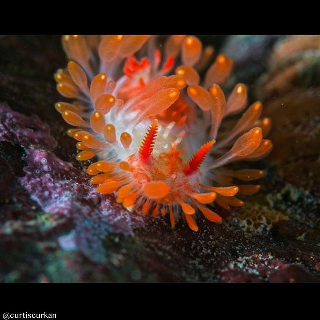 Pnw Nudi 16 Goes To This Stunning Cockerell S Nudibranch Limacia