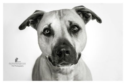 Pet portraits Photography, dogs, puppies, black & white, faces, expressions, pets, animals, studio, lighting