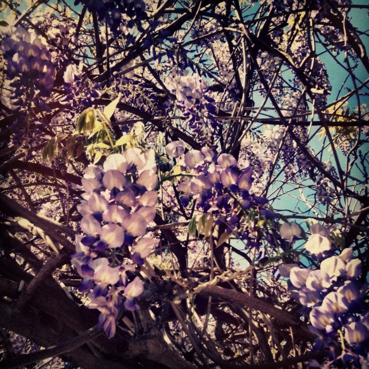Beautifully sweet smelling wisteria discovered on our travels this week