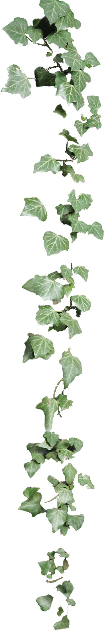 cutout plant hanging ivy | Cutout | Pinterest | Ivy, Art and Plants Purple Top Border Clip Art