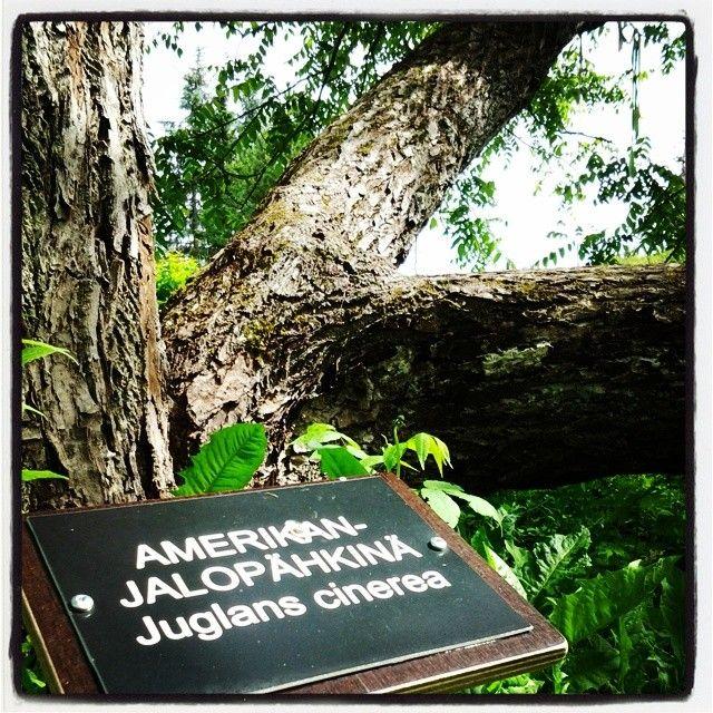 Amerikan jalopähkinä - Harvialan kartano, Janakkala