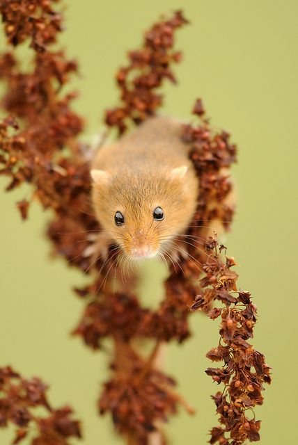 Harvest mouse  By amylewis.lincs  Amy Lewis