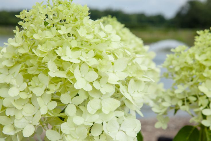 how to keep limelight hydrangea small