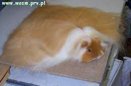 świnka morska angorska - Szukaj w Google