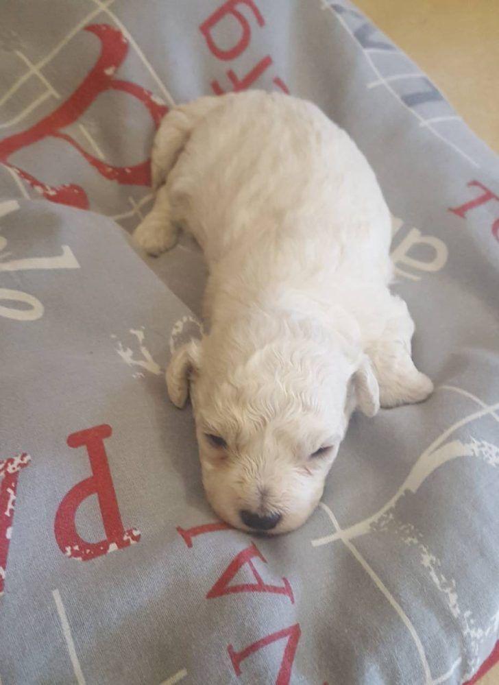 The Domestic Dog Bichon Frise Puppy Bichon Frise Puppy Male For