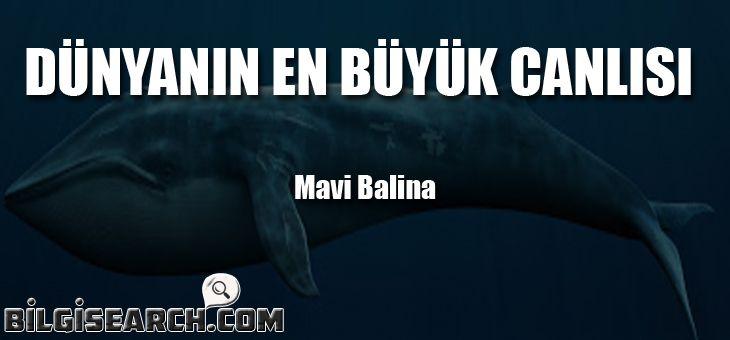 Mavi balina hakkında bilgi, Mavi balina vikipedisi,Mavi balina özellikleri,Gök balina,Dünyanın en büyük hayvanı hangisi mavi balinadır. Mavi balinanın başı çok ge...