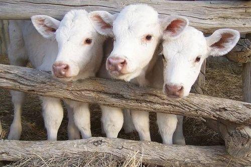 Charolais calves <3