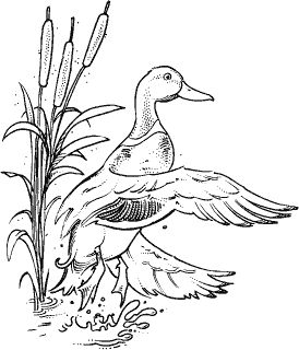 mallard ducks coloring pages - photo#24