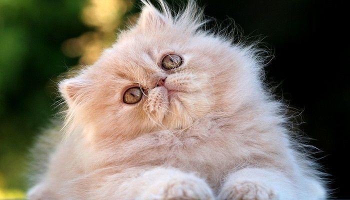 Micosis En Gatos. Cómo Curar Los Hongos En Los Felinos.