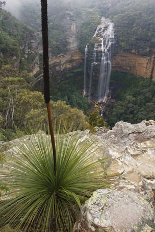 A Xanthorrea at Wentworth Falls, Blue Mountains, New South Wales