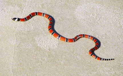 How Apathy Over Snake Anti-Venom Could Endanger Thousands of Lives