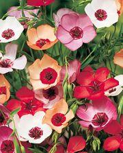 BLOMSTERLIN  Höjd 45 cm Portion Ca 100 frön. Förtjusande vackert blomsterlin som går i vitt, terracotta, rött, rosa och lila. Blommar juni-september. Trivs bäst i soligt till halvskuggigt läge. Optimal groningstemperatur 14-16 C