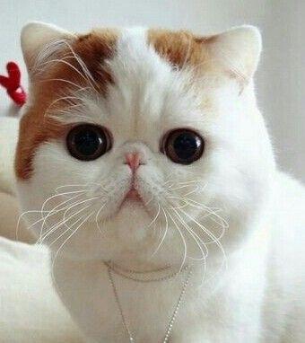 Snoopy kitty
