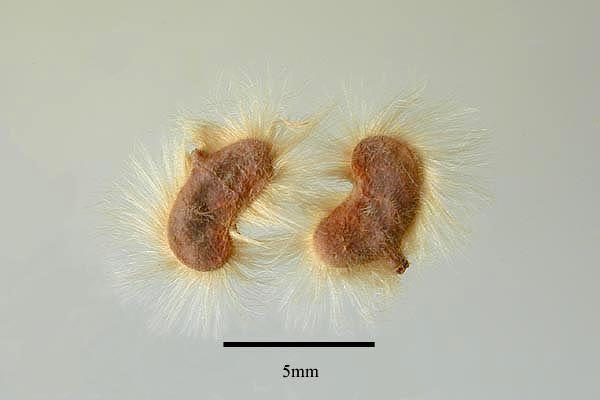 http://www.ars-grin.gov/npgs/images/sbml/Blepharocarya_depauperata_seeds.jpg