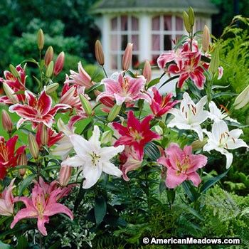Create bold, fragrant color in your summer garden with this Oriental Lily Bulb Mixture. It includes Oriental Lilies of all different colors, making this mixture perfect for planting extras and creating a gorgeous, fragrant bouquet! (Lilium)