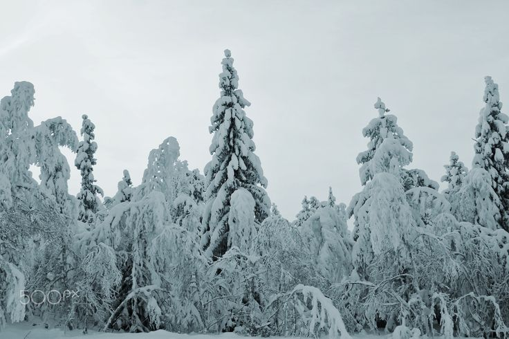 Snow and winter - Hanging trees and lots of snow at the surrounding mountains of Eastern Norway.
