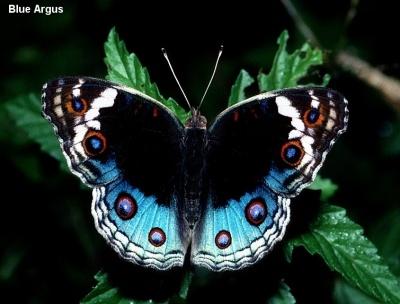 Blue Argus (Junonia orithya)