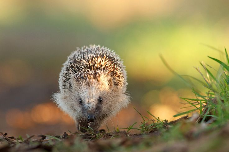 Hedgehog on a Mission by Roeselien Raimond on 500px