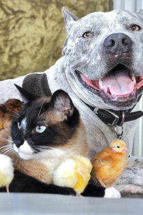 The Pitbull, the Siamese Cat and the Baby Chicks @Photo: Helen J. ArnoldSiam Cat, Siamese Cats, Baby Kids, Friends, Kids Children, Pitbull, Chicks Photos, Baby Chicks, Animal