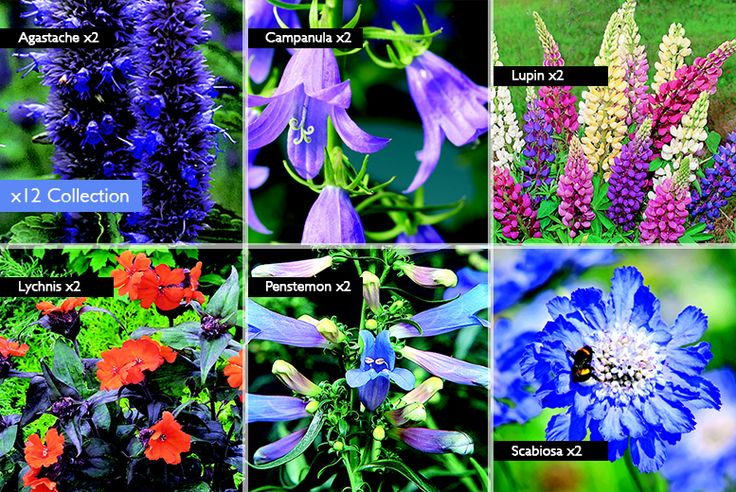 6 or 12 Large Potted Perennial Plants