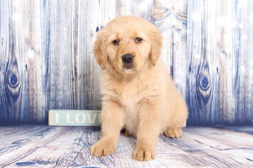 Golden Retriever Puppy For Sale In Naples Fl Adn 60352 On