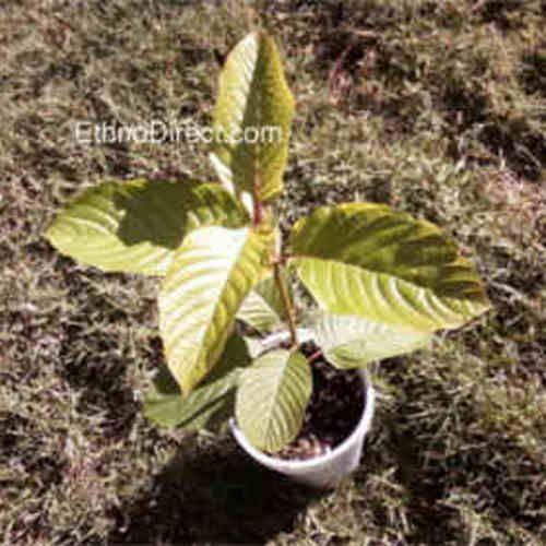 Kratom Plants http://EthnoDirect.com