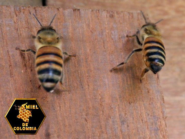 Los propóleos (gr. própolis) son unas mezclas resinosas que obtienen las abejas de las yemas de los árboles y que luego procesan en la colmena como sellante de pequeños huecos (6 mm o menos). Para huecos mayores, las abejas usan cera. El color del propóleo depende de la fuente de la que haya sido obtenido, siendo el más común marrón oscuro. A temperatura ambiente (20 °C), el propóleo es pegajoso y a temperaturas menores solidifica. pedidos: 3012020777 - 3117402833  ventas@mieldecolombia.com