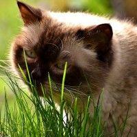 #dogalize Erba gatta: i benefici di questa pianta sui pelosi #dogs #cats #pets