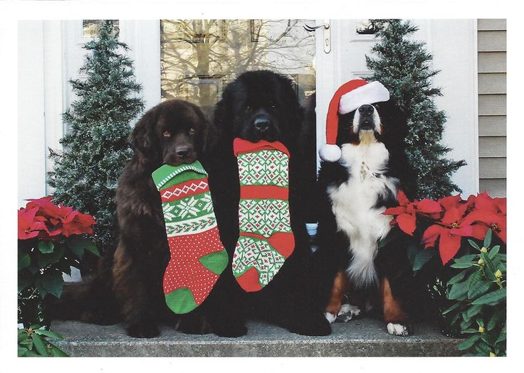 """How sweet is this? These amazing dogs (from left to right) Bella, Mojo and Murphy, clearly have the Christmas spirit! The cards are 5"""" by 7"""" and sold as a 10 pack with envelopes. Inside greeting: """"Mer"""