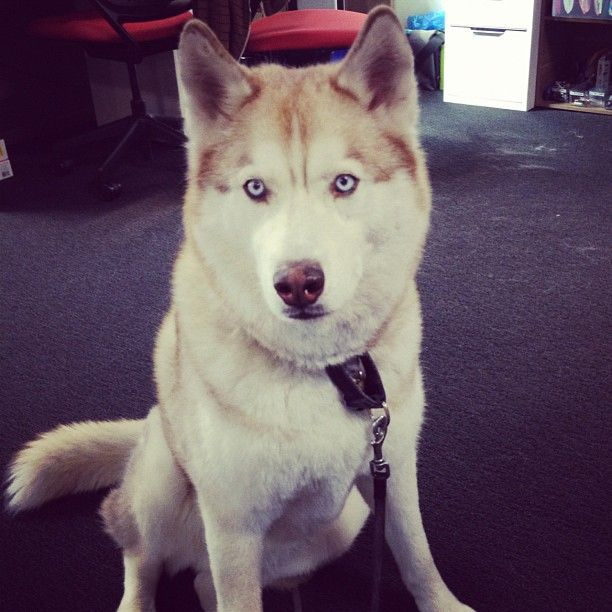 Raiden wants more treats #husky -- via @shinranshoni: Treats Husky, Klout Klout