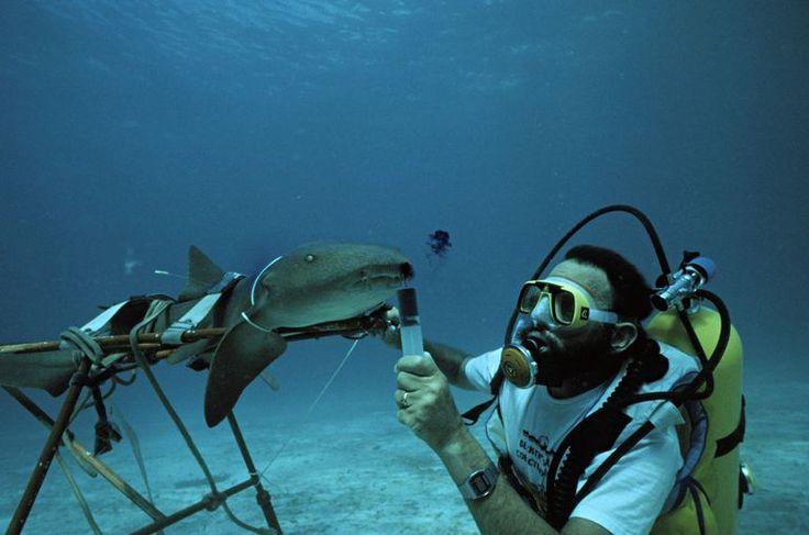 Marine biologist uses dye to test respiratory flow of nurse shark.