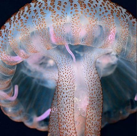 Pelagia Noctiluca Jellyfish - by Sergi Garcia.JPG  #reef #coralreef #ocean #seahorse #pods #aquarium #coral #reef #ocean #aquariums #saltwater #sealife #saltwaterfish #reeftank #sea  #aquascape #fishtank #fish