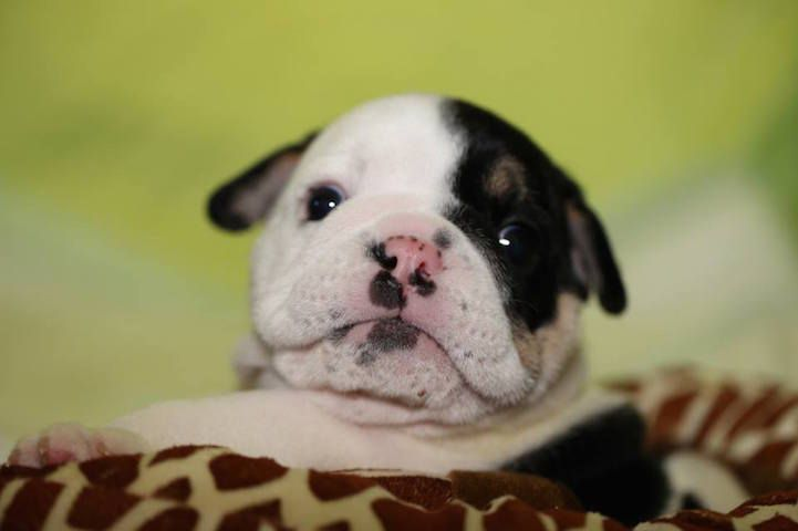 Adorable Bulldog Puppy Born with Only Two Healthy Legs Receives the Help He Needs - My Modern Met