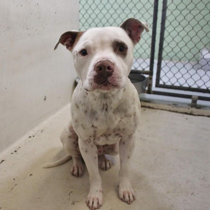 04/01/17- ODESSA, TX - EXTREMELY URGENT - Spot is a male Staffordshire Terrier mix 3-5 years old Kennel A5 $125 to adopt (includes neuter, all his shots, chipped and heart worm tested) ADOPT/RESCUE/FOSTER Located at Odessa, Texas Animal Control.