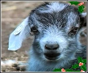 Giggle With Goats Jingle Bells Performance : Video Clips From The Coolest One