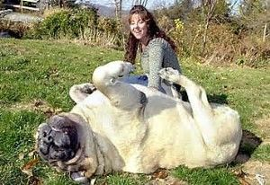 Image result for Zorba World's Largest Dog Breed
