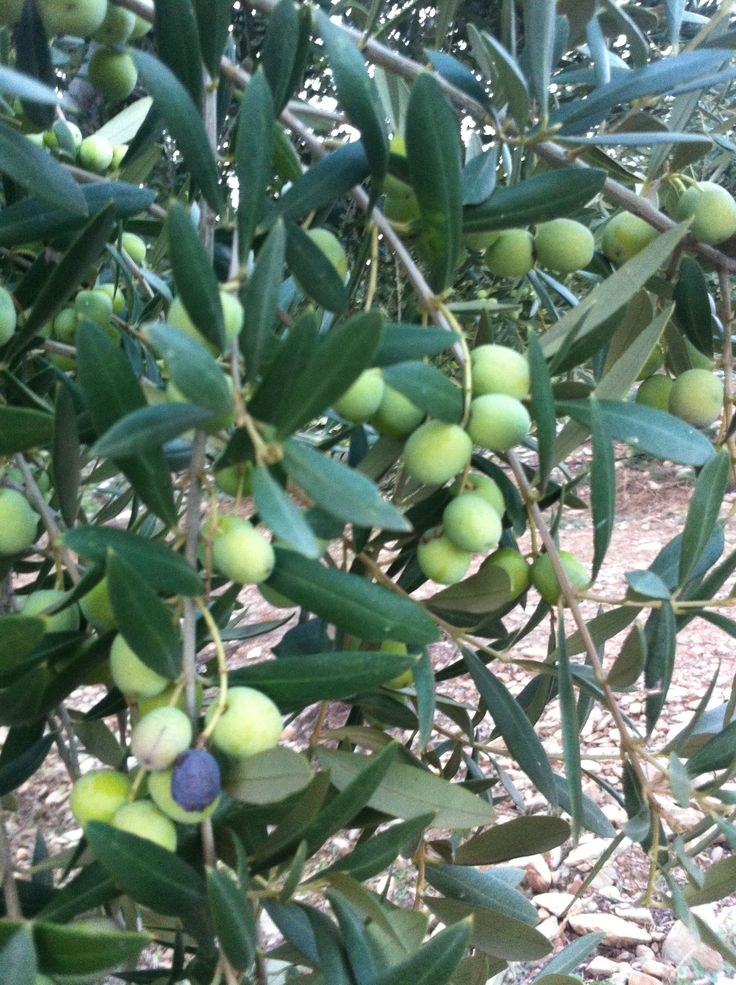 Arbequina olives #evoo the first ones We'll start to harvest day 14th of october