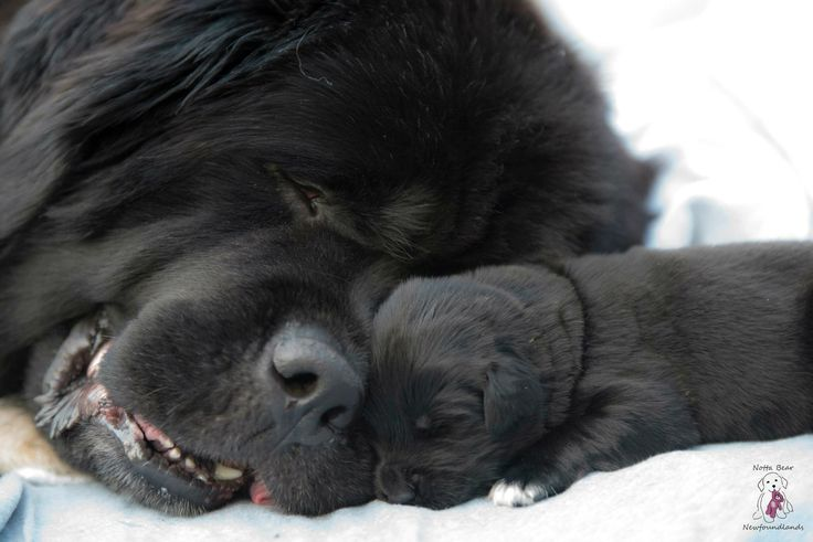 A mothers love <3 newfoundland puppy and mother by Notta bear Newfoundlands