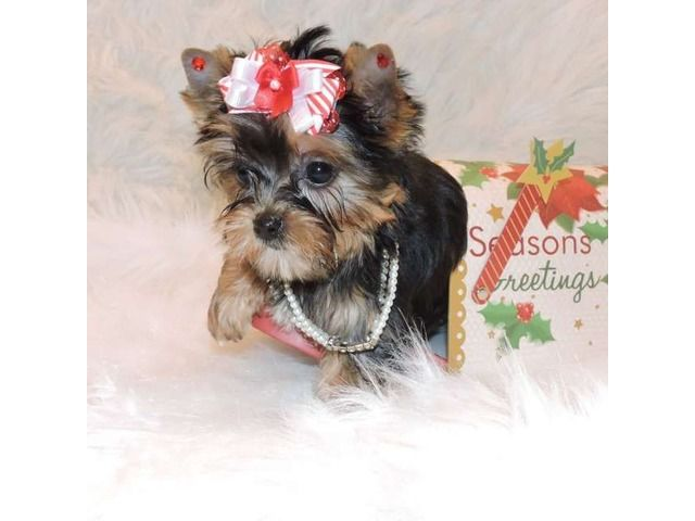 listing hgtyb Sweet Teacup tiny size Yorkie pupp... is published on Free Classifieds USA online Ads - http://free-classifieds-usa.com/for-sale/animals/hgtyb-sweet-teacup-tiny-size-yorkie-puppies-ready-for-re-homing_i26715