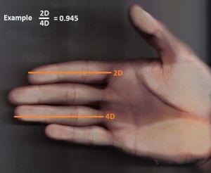 Los dedos de la mano y el tamaño del pene