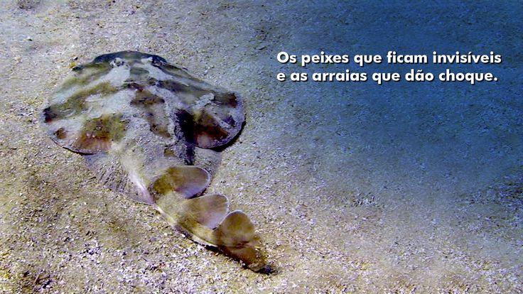 A incrível adaptação dos peixes que vivem pousados no fundo do mar. Linguados e arraias que usam a camuflagem para desaparecer. Algumas arraias geram descargas elétricas, inclusive para atordoar os animais dos quais se alimentam. Veja também!Ingleses – Educar para PreservarOs Peixes do Fundo – Mar de Vida – Parte …