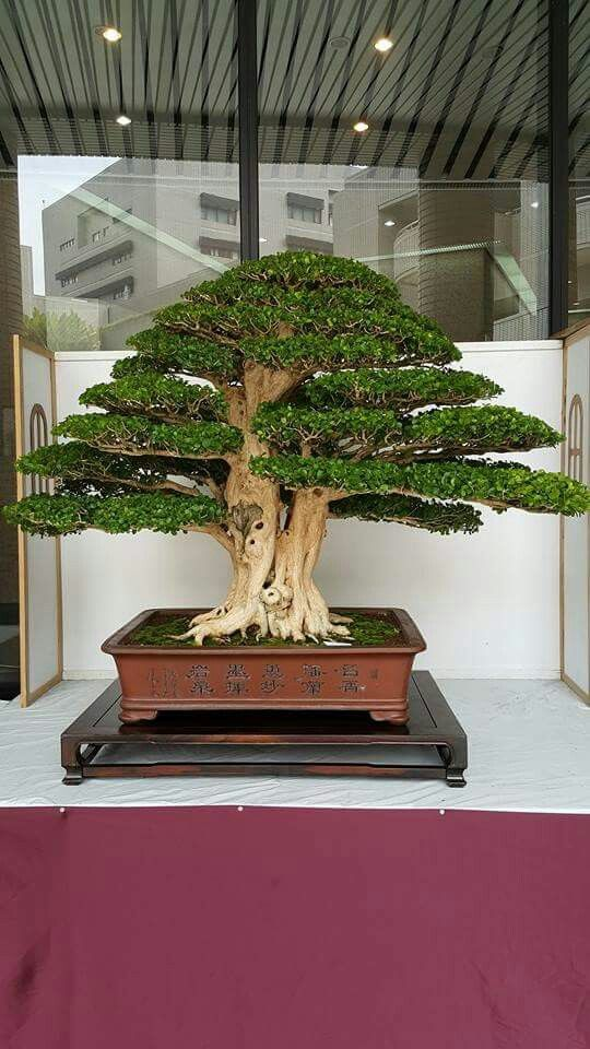 Another amazing Bonsai. I really wish that I could get one like this. Beautiful specimen.