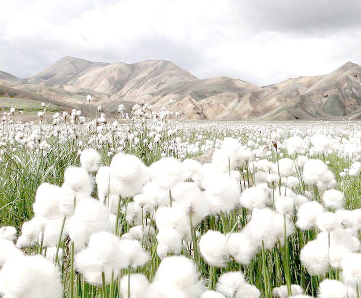 Cotton Grass in Landma...